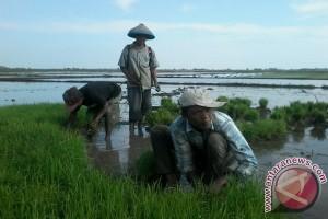 Harga beras Vietnam lebih murah karena sedikit gunakan pupuk kimia