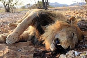 Nasib singa mengenaskan, dibunuh karena kesasar