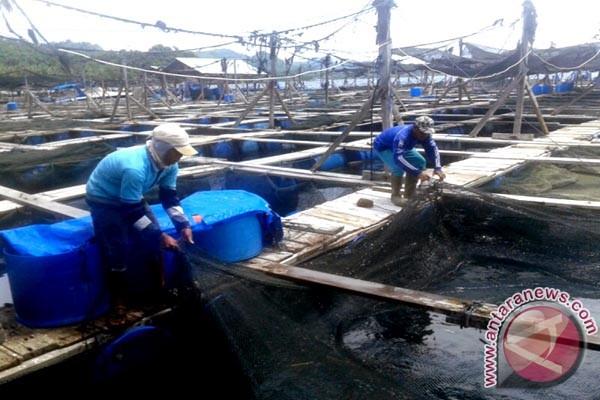 Budi daya kerapu Lampung terkendala pakan