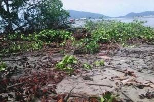 Hutan Bakau Pulau Pahawang Ditebangi