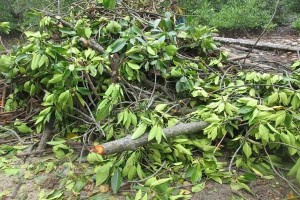 Kades Pulau Pahawang Lapor Bupati Soal Penebangan Mangrove