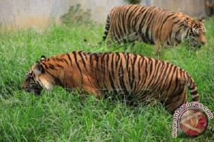 Populasi harimau di Bengkulu tersisa 17 ekor