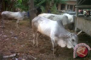 Harga Ternak Sapi di Lampung Tetap Tinggi
