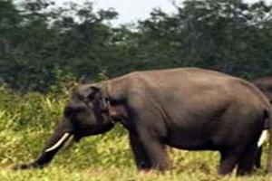 LSM Ajak Tingkatkan Dukungan Konservasi Gajah Sumatera