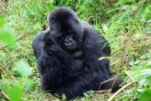 Terus diburu, gorila Kongo hampir punah