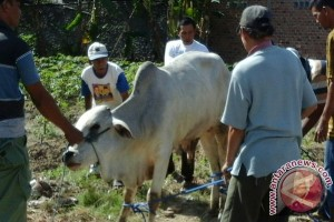 Warga Sukarame kurbankan belasan sapi