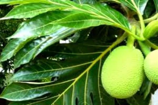Teh daun sukun bantu sembuhkan penyakit ginjal