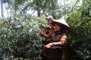 Bupati Lampung Timur Panen Cabai Bersama Petani