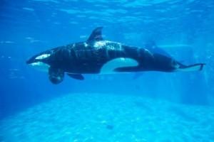 Nelayan jika temukan paus pembunuh, segera naik ke kapal
