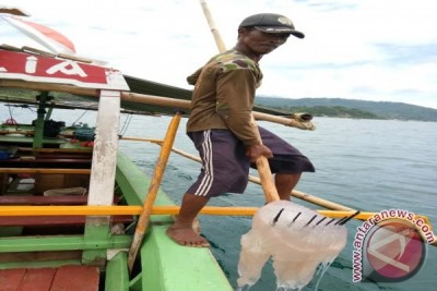 Ubur-ubur Jadi Berkah Di Pantai Wisata Lampung