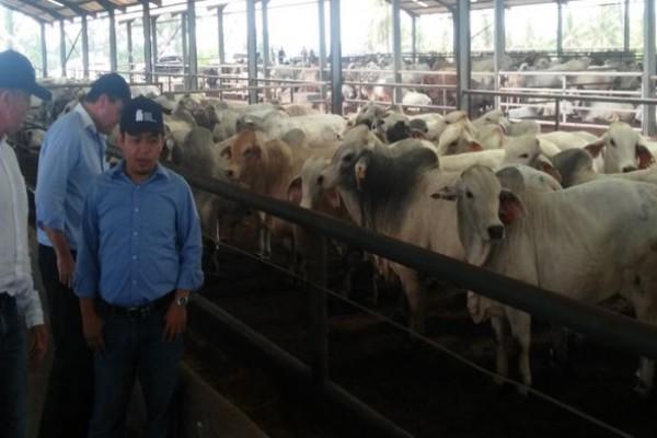 Asisten Menteri Australia Kunjungi Penggemukan Sapi Lampung