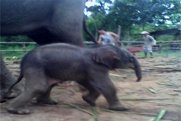 Anak Gajah Betina Lahir di Way Kambas