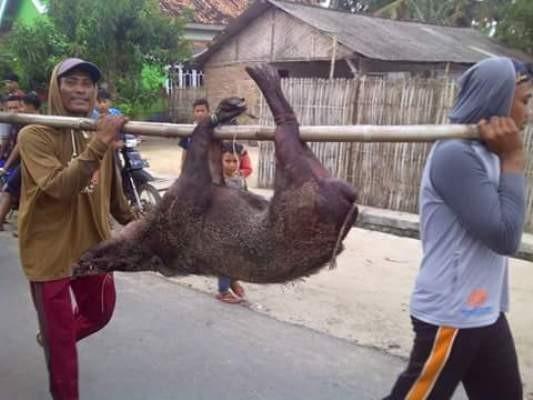 Babi Hutan Serang Warga Labuhan Maringgai Lampung