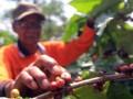 Petani di Kabupaten Tanggamus, Lampung sedang memetik buah kopi yang masak. (ANTARA Lampung/Ardianyah)