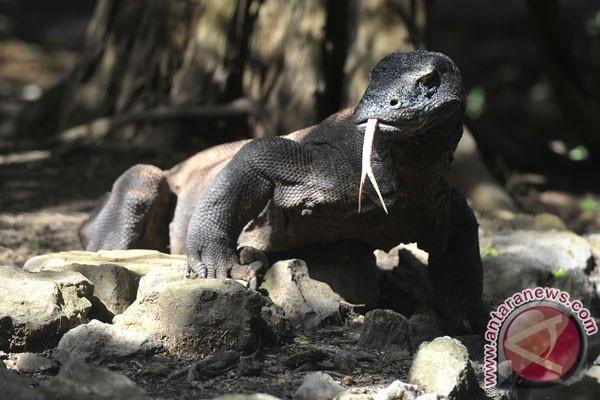Komodo pernah serang wisatawan, jasadnya tak ditemukan