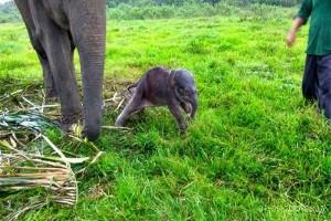 Gajah Way Kambas Lahirkan Anak Betina