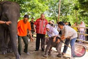 "Bupati Beri Nama Anak Gajah ""Nunik"""