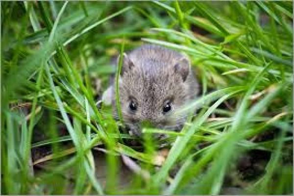 Waykanan Lakukan Gropyokan Tikus