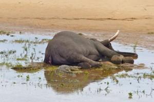 Gajah bunuh pemburu profesional
