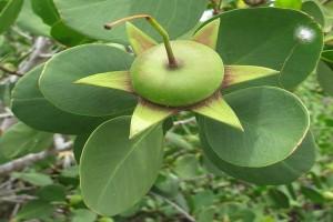 Mangrove juga bisa untuk bahan kosmetik