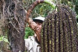Lampung Barat Belajar Budidaya Aren Lebak
