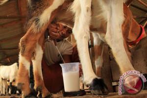 Minum Susu Kambing Untuk Kesehatan
