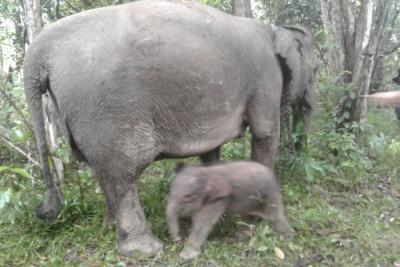 Gajah perempuan lahir di TNWK
