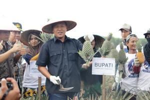 Lampung Tengah Jadikan Punggur Sentra Nanas Batu