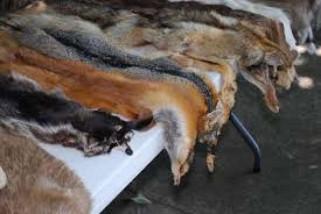 Penjualan produk bulu binatang akan dilaang di Los Angeles