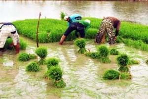 Sulsel targetkan padi 5,7 juta ton GKG
