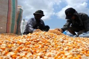 Petani Keluhkan Turunnya Harga Jagung di Gorontalo