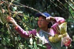 Peremajaan Kopi Mamasa Ditarget 5.000 Hektare