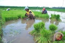 Petani Kabupaten Maros Tanam Ulang Akibat Banjir