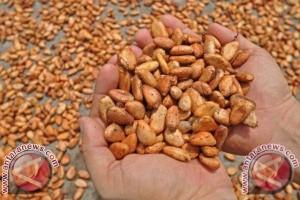 Sulbar Tingkatkan Kualitas Kakaonya