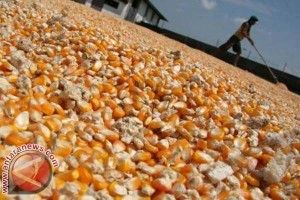 Gorontalo ekspor jagung ke Filipina
