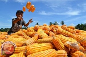 Produksi jagung di Sulbar turun 9.854 ton