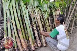 Sulbar Bantu Bibit Pisang Petani Majene
