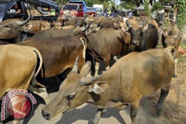 Populasi Sapi Di Mamuju Capai 24.000 Ekor