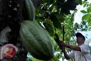 Kejati usut pengadaan bibit kakao di Sulsel