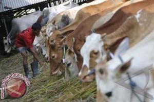 Stok sapi di RPH Makassar 3.000 ekor