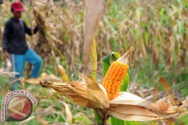 Bombana Tambah Luas Lahan Jagung 8.000 Hektare