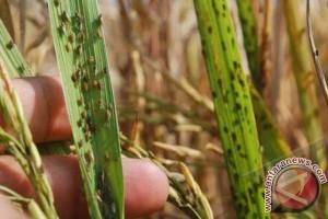 Petani Mamuju keluhkan serangan hama padi