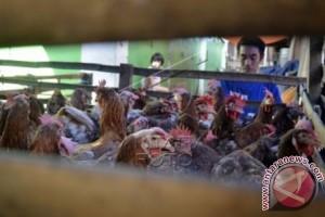 Harga ayam potong di Polman naik