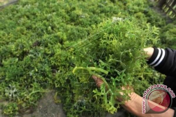 Ekspor Sulsel Didominasi Rumput Laut
