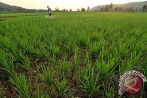 Petani Majene khawatir ancaman kemarau