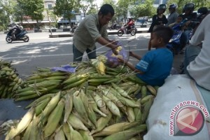 Mamuju dapat bantuan pengembangan jagung 12.500 ha