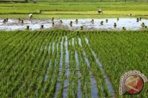 Ratusan hektare sawah Polman butuh sumber air