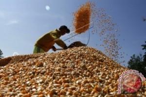 Delapan ton bibit jagung dikembangkan petani mamuju