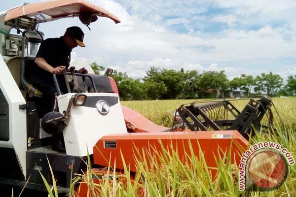 9.000 hektare sawah Sidrap panen tiga kali setahun