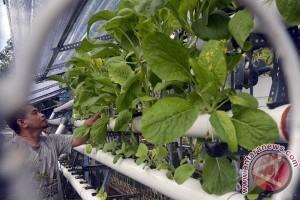 Warga Makassar budidayakan tanaman hidroponik